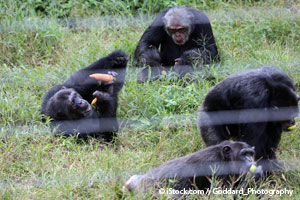 nih chimpanzees