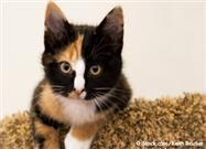 Gatos Calicó