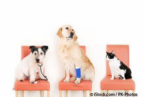 Colangiohepatitis en Mascotas