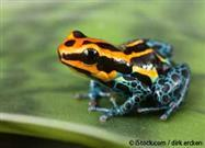 Poison Dart Frogs Lose Their Toxicity When Raised in Captivity