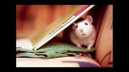 Cute Pet Rats Collage