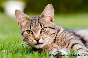 Enfermedad del Tracto Urinario en Gatos