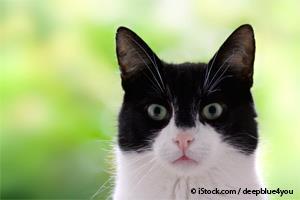 Datos Sobre Los Gatos Pintos O Bicolor