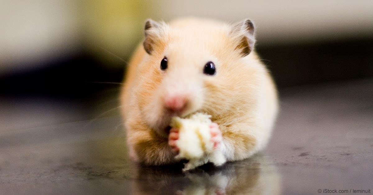 Common Harmful Hamster Treats | Healthy Hamster Diet