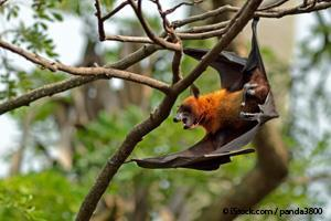 threatened bat