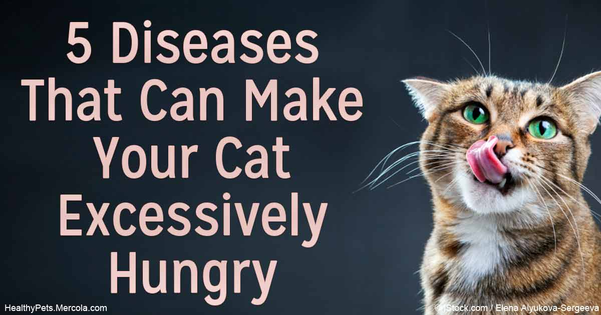 Dangers of Excessive Hunger in Cats