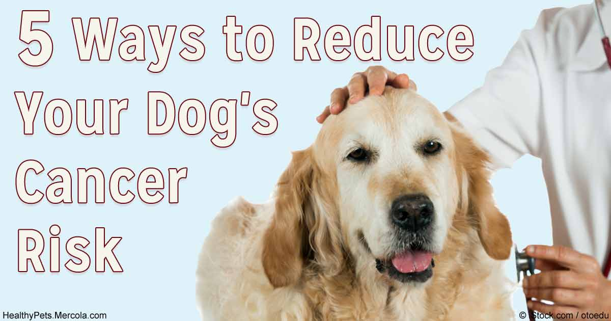 Cancer In Golden Retrievers Began To Spike In The 1990s