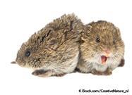 Rodents Show Empathy and Console Their Friends