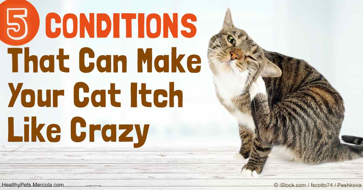 5 Conditions That Can Make Your Cat Itch