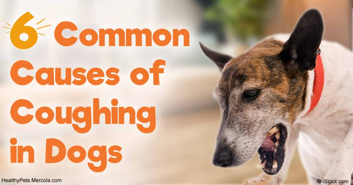 6 Common Causes of Coughing in Dogs