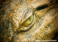 Crocodiles' Eyes Are Uniquely Suited for Ambush Hunting