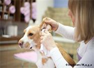 Este Es Un Problema Muy Común del Oído Canino Pero Es Fácilmente Evitable