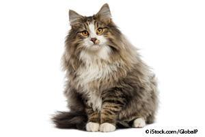 fun facts about the norwegian forest cat