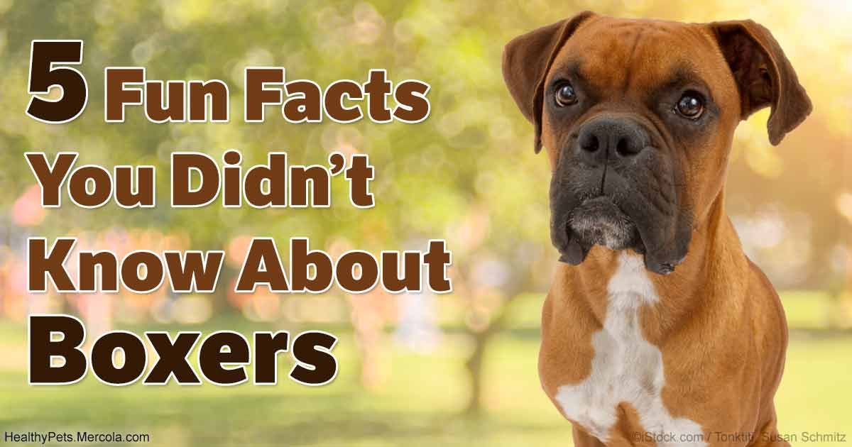 5 Reasons A Boxer Dog Might Be The Right Breed For You
