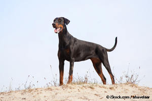 Dóberman Pinscher Natural