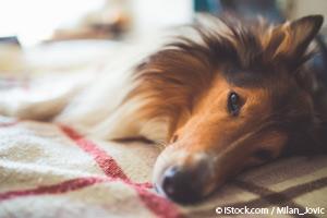 Virus del Moquillo Canino