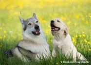 ¿Por Qué los Lobos Hacen Esto Mucho Más Fácil Que Tu Perro?