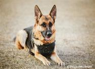 Working Dogs 'Talk' With the Help of Wearable Computers