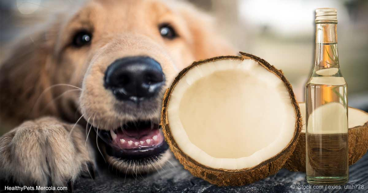 Coconut oil for dogs skin and health solutioingenieria Gallery