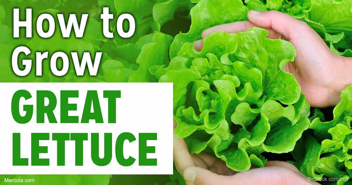 How to grow great lettuce for How to pick lettuce from garden