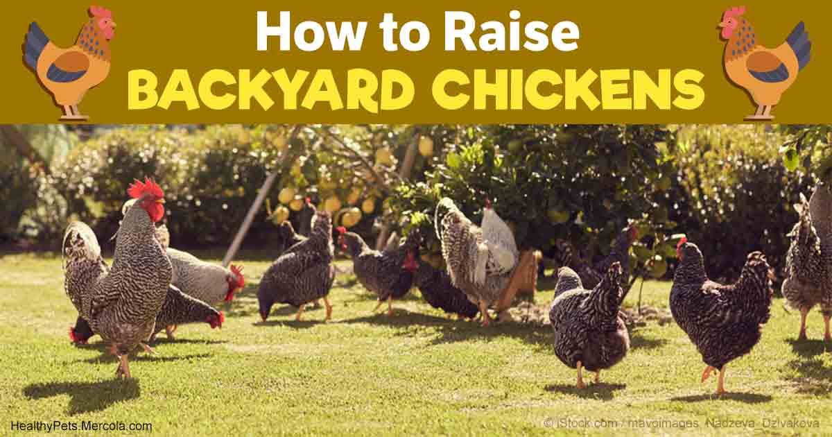 how to raise healthy happy long lived backyard chickens