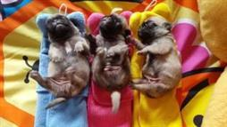 Three Little Pugs, All in a Row