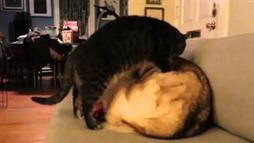 Cat Uses Husky as a Heated Bed