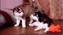 What a Husky Mom Does When Pups Fight Over Toy