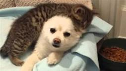 Rescue Kitten Ruffs Up Cute Pomeranian