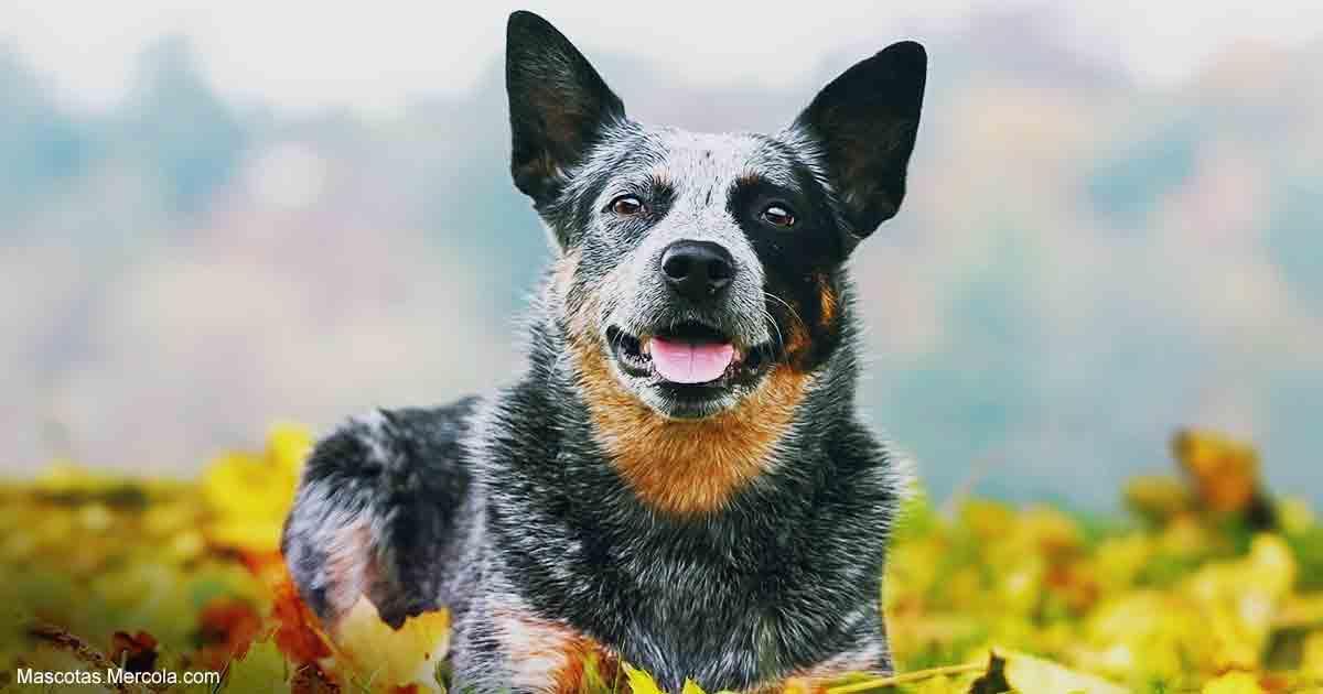 el perro pastor ganadero australiano es excelente l u00edder y guardi u00e1n