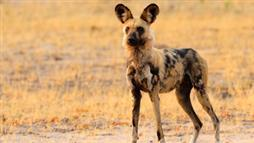 African Wild Dogs Sneeze to Vote 'Yes' to a Hunt