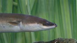 Eels Make Extraordinary Migration by Tapping Into Earth's Magnetic Fields