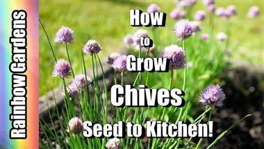 Quick Tips to Grow Chives