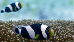 The Incredible Teamwork of a Little Clownfish