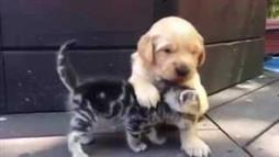 Golden Retriever Pup Grooms Kitten
