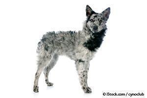 mudi hungarian herding dog