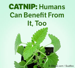 catnip benefits