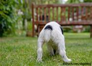 Glándulas Anales en Perros