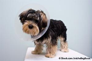 neutered puppy