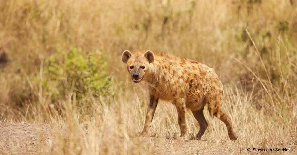 Remarkable Immune Function of Alpha Female Hyenas