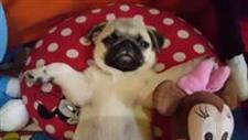 Pug Rests Among Stuffed Animals