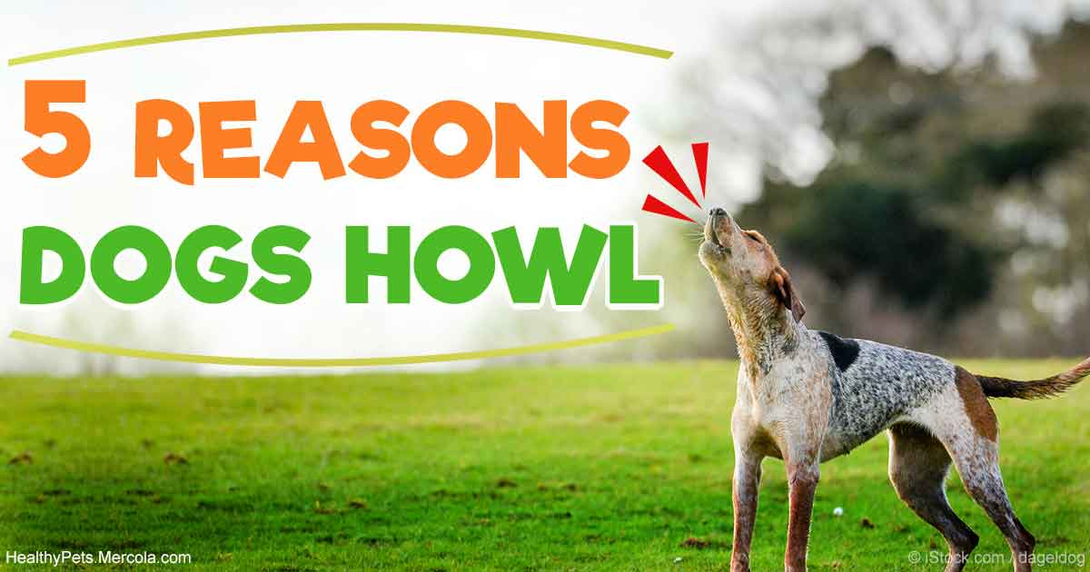 5 Reasons Why Your Dog Howls