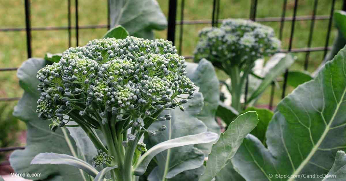how to grow romanesco broccoli