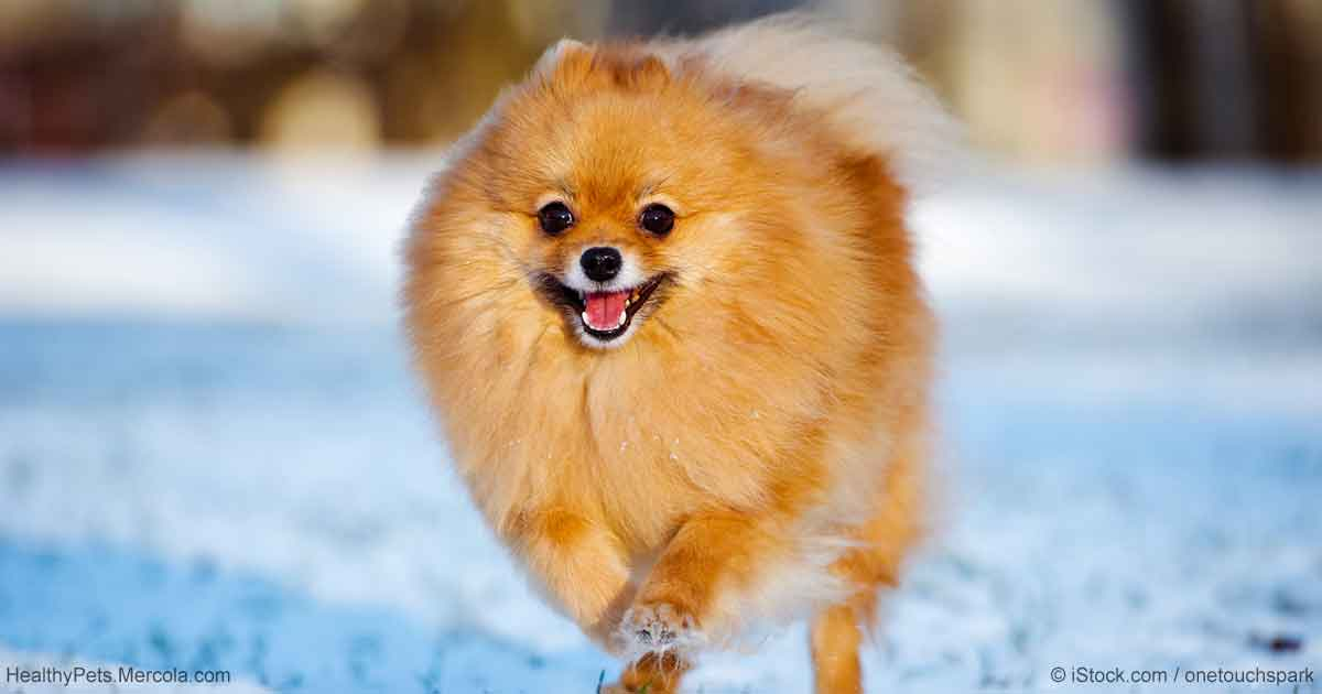 Amazing German Spitz Canine Adorable Dog - lively-and-adorable-breed-gets-along-with-others-no-hl-fb  Perfect Image Reference_41659  .jpg