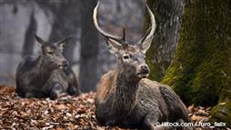 Can This Deer Disease Be Transmitted to Humans?