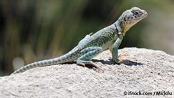 lizards microbiome