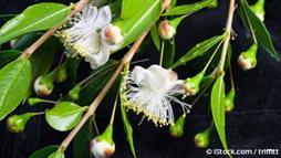 myrtle plant