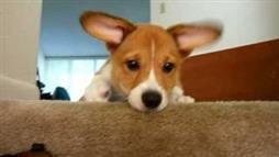 Corgi Is Sad When His Toy Falls Down the Stairs