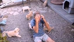 Golden Retriever Puppy Attack