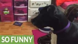 Girl Plays Hide and Seek With Great Danes